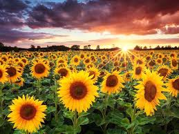 sunflowers for sale amazing sunflowers the playlist that saved me sunflowers sunflower