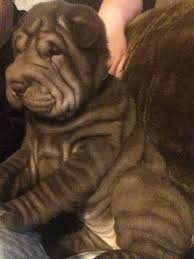 beautiful brown shar pei puppy for sale halifax west