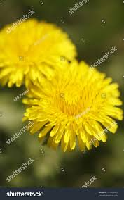 image o dandelion stock photo 191603483 shutterstock