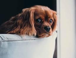 comment empecher mon chien de monter sur le canapé interdire le canapé à mon chien comment procéder