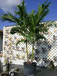wonderful decoration small palm trees home depot in cowtown home