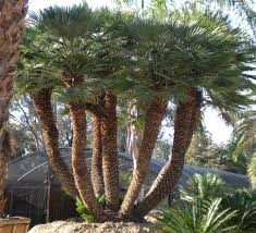 mediterranean fan palm tree chamaerops humilis mediterranean fan palm european fan palm