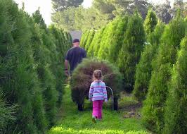 cut down your own christmas tree farms in san diego