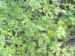 native texas plants for shade texas native plant week seeds n berries my gardener says u2026