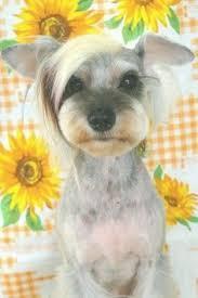 mini schnauzer haircut styles must see cute dog hairstyles