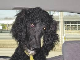 afghan hound poodle cross so fluffy poodle forum standard poodle toy poodle miniature