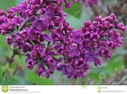 syringa lilac tree stock photo image 39585229