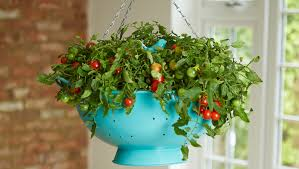 light requirements for growing tomatoes indoors how to grow tomatoes indoors gardening steps