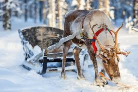 christmas reindeer the real reindeer and how they became associated with christmas