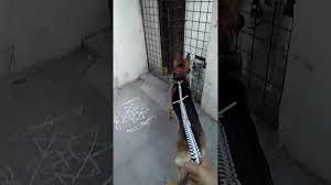 american eskimo dog vs pomeranian german shepherd vs american eskimo fight youtube