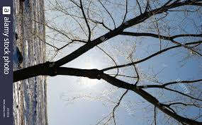 hardwood tree in winter with no leaves with frosty covered