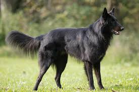 belgian sheepdog guard dog belgian sheepdog dog breed standards