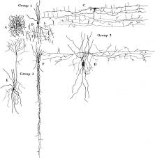 chandelier cells principal types of aspiny nonpyramidal cells in the primate