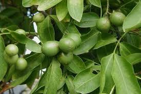 genip a lovely ornamental fruit plant nurserylive