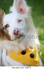 australian shepherd mit 6 monaten dog australian shepherd aussie three stock photos u0026 dog australian