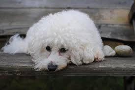 Types Of Dogs Types Of Dogs With Curly Hair Cuteness