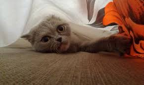 my cat under the bed sheets cute cats hq free pictures of funny