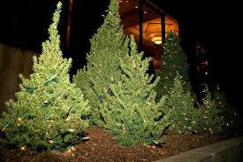 real christmas trees real vs artificial christmas trees difference and comparison
