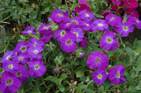 axcent violet with eye rock cress aubrieta u0027axcent violet with