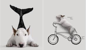 meet jimmy the incredible bull terrier through 25 amazing photos