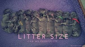 australian shepherd litter size litter size u2013 what the research says some thoughts about dogs