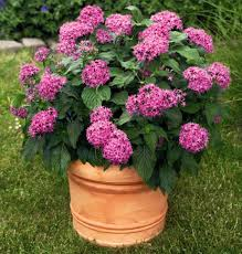 pentas flower want delightful flowers in hot summer grow pentas indoors in a