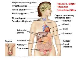 Human Anatomy Liver And Kidneys Hormones And Endocrine System