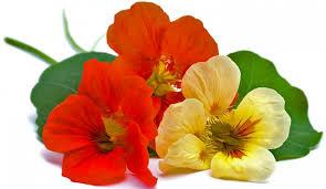 nasturtium flowers how to grow and care for nasturtium the garden