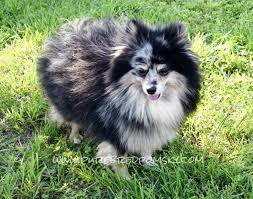 purebred pomsky puppies for sale meet the parents pomsky