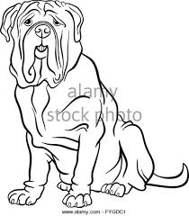 neapolitan mastiff stock photos u0026 neapolitan mastiff stock images