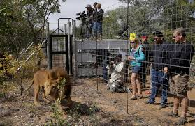 33 lions airlifted to south africa