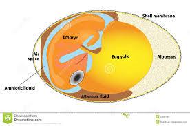 structure bird egg bird embryo stock images image 23667584