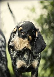 bluetick coonhound decals 29 best coon hunters u0027 board images on pinterest bluetick
