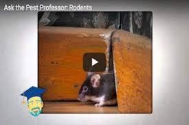 Are Mice Blind House Mice Profile Control U0026 Identification Of Mice