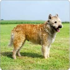 belgian sheepdog akc 95 best belgian shepherd laekenois images on pinterest belgian