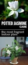 Very Fragrant Plants Potted Jasmine Care The Most Fragrant Indoor Plant Gardentipz Com