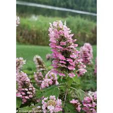 Flowers Killeen Tx - hydrangea garden plants u0026 flowers garden center the home depot