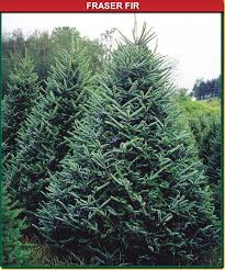 premium cut christmas trees gullo u0027s garden center llc