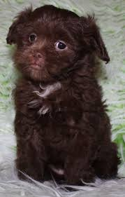 affenpinscher breeders canada tinyteddys com teddy bear zuchon