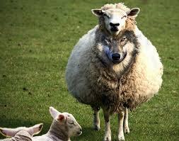 Meme Wolf - create meme evil sheep evil sheep sheep a wolf in sheep s