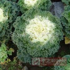 sale ornamental kale and cabbage seeds edible garden