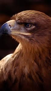 238 best golden eagles images on pinterest golden eagle birds