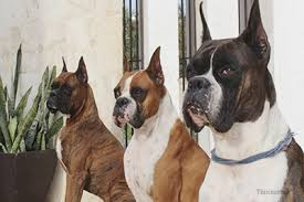 boxer dog breeders near me plastic surgery for dogs in south korea sparks outcry but is