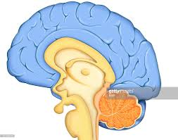 Image Of Brain Anatomy Brain Drawing Pictures Getty Images