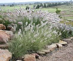 200 best ornamental grasses images on ornamental