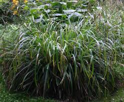 ornamental grasses quiz identification and recognition