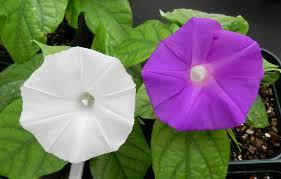 Colour Use Crispr Technology To Change Flower Colour