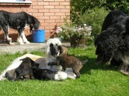 afghan hound giving birth vendimar