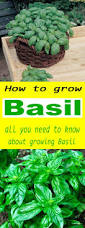 25 best ideas about how to grow herbs on pinterest growing