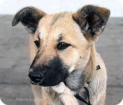 belgian malinois breeder california hope adopted puppy los angeles ca german shepherd dog